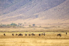 Herds of wildebeests in the Ngorongoro Royalty Free Stock Photo