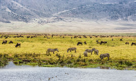 Herds of wildebeests and zebras Royalty Free Stock Photography