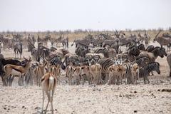 Herds of zebra and antelope at waterhole Etosha, Namibia Stock Images