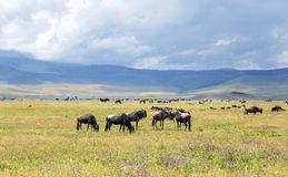 Herds of zebra and blue wildebeest grazing in the savannah Stock Image
