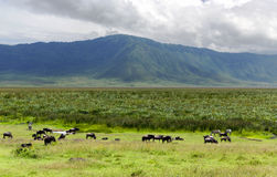 Herds of zebra and blue wildebeest grazing in the savannah Royalty Free Stock Images
