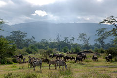 Herds of zebra and blue wildebeest grazing in the savannah Royalty Free Stock Photo
