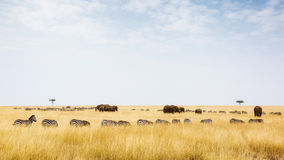 Herds of Zebra and Elephants in Kenya Royalty Free Stock Photos