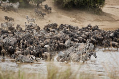 Herds of Zebra and Wildebeest on Mara River, Kenya Stock Images