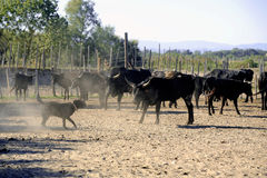 The herdsman bull dog at work Stock Photo