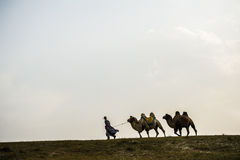 A herdsman and the camels walking at the grassland Royalty Free Stock Photography