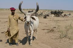 Herdsman and his herd in the desert of India Stock Images