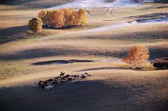 A herdsman and horses in autumn prairie. A herdsman and horses in prairie with golden birch trees at sunset in autumn royalty free stock image