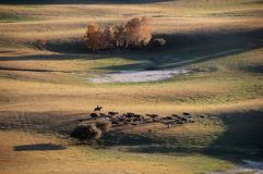 A herdsman and horses in autumn prairie. A herdsman and horses in prairie with golden birch trees at sunset in autumn stock images