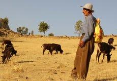 Herdsman. A kurdish herdsman taking care of their cows in a village in kurdistan, iraq stock photos