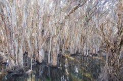 Herdsman Lake: Paper Bark Trees Stock Images