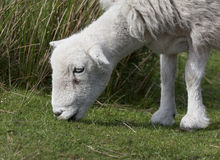 Herdwick closeup Royalty Free Stock Image