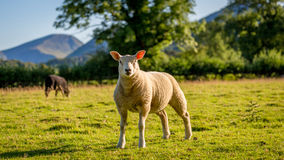 Herdwick får i Cumbria, England Royaltyfri Foto