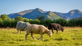 Herdwick får som betar i Cumbria, England Royaltyfria Foton