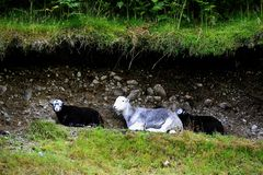 Herdwick Family Stock Photography