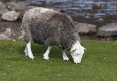 Herdwick grazing Stock Images