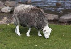 Herdwick grazing Stock Images