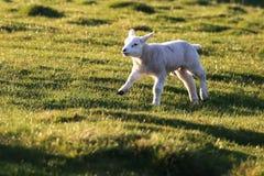 Herdwick lamb running in the sun. Herdwick lamb enjoying the warm spring sunshine and running across the fieldn royalty free stock photo