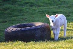 Herdwick lamb standing in the sun. Beside a huge tyre stock photos