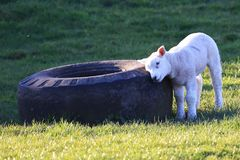 Herdwick lamb scratching an itch. Herdwick lamb in the sun scratching an itch against a huge tyre stock photography