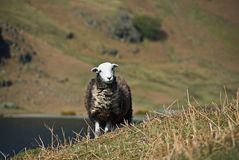herdwick owce Fotografia Stock