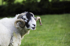Herdwick ram with curled horns Royalty Free Stock Images
