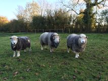 Herdwick Ram and Ewes Stock Image