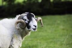 Herdwick RAM med krullade horns royaltyfria bilder