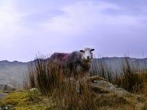 Herdwick-Schafe auf Berg Lizenzfreie Stockfotos