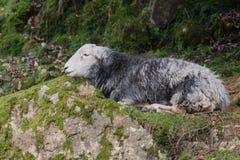 Herdwick-Schafe im See-Bezirks-Nationalpark Stockfotografie