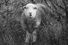 Herdwick sheep caught by surprise! Stock Photography