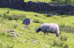 Herdwick Sheep Grazing on Green Grass. Herdwick sheep grazing on green mountain pasture in Lake District National Park Stock Photos