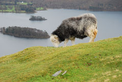 Herdwick Sheep. Grazing in the lake district royalty free stock photos