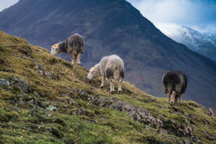 Herdwick sheep on the high fells. Royalty Free Stock Images