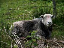 Herdwick sheep, Lake District Stock Image