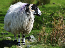 Swaledale Ewe, Cumbria. A fine example of a Swaledale sheep, that has a long association with the English lake district, and the northern uplands royalty free stock image