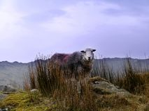 Herdwick sheep on mountain Royalty Free Stock Photos