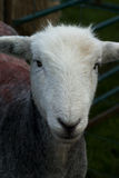 Herdwick sheep Royalty Free Stock Image