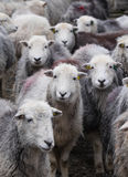 Herdwick sheep. Royalty Free Stock Photo