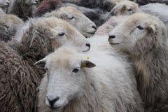 Herdwick sheep. Royalty Free Stock Images