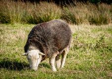 Herdwick Sheep. Rare Breed Herdwick Sheep, with a long smooth coat Stock Photos