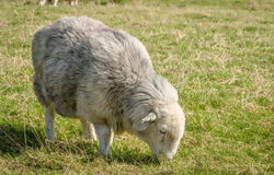 Herdwick Sheep. Rare Breed Herdwick Sheep, with a long smooth coat Stock Image