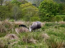 Herdwick sheep in tufted grass Stock Images