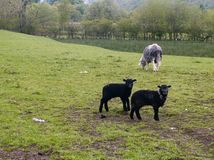 Herdwick sheep wth two lambs Royalty Free Stock Photography