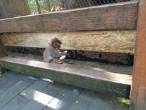 Baby monkey royalty free stock photo