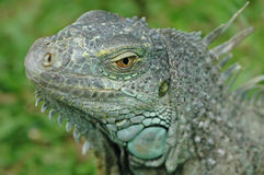 Here be dragons. Face of a green iguana stock images