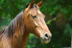 Here boy. Head shot of beautiful horse royalty free stock image