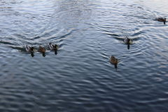 Here comes a photo whit birds in the water in summer time in Sweden Royalty Free Stock Image