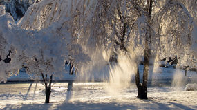 Here comes the sun. Snow falling from trees as morning sun starts to thaw the snow Royalty Free Stock Image
