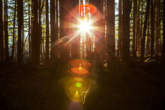 Here Comes the Sun. Giant colorful sunburst lens flare through trees in a dense forest royalty free stock photography